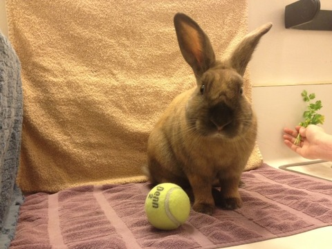 rabbit with tennis ball and parsley